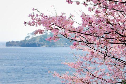 20130310zyougasakisakura_2
